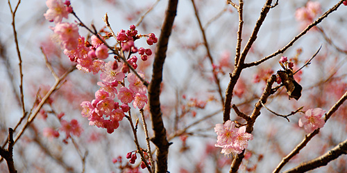 桑田山・雪割桜